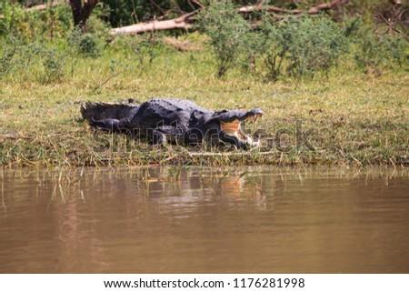 Crocodile (Crocodylus niloticus) laying in grass on the swampy Chamo lakeshore in Ethiopia.