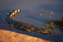 Crocodile (Crocodylus niloticus), Letaba River, Kruger National Park, South Africa