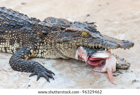 Crocodile eating fish