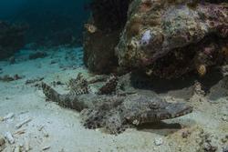 Crocodile fish Papilloculiceps longiceps