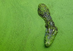 Crocodile floating on the water surface and floating green plants.