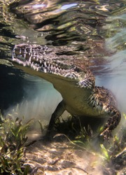 Crocodile floats underwater. Alligator in shallow water looks out of water. Marine life under water in ocean. Observation animal world. Scuba diving adventure in Red sea, coast Africa