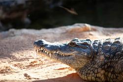 Crocodile head while resting sunbathing near a lake