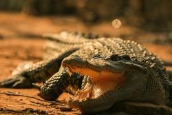 Crocodile in asian