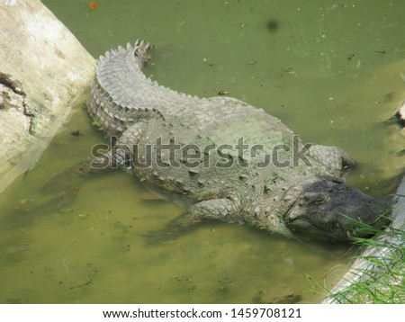 Crocodile in River best pic of Wlid animal