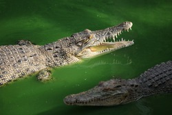 Crocodile in samut prakan crocodile farm. Founded in 1950 and now the largest crocodile farm in the world