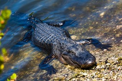 Crocodile in the Everglades National Park