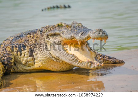 Crocodile in the farm is eating fresh food