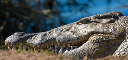 Crocodile in the Kruger National Park