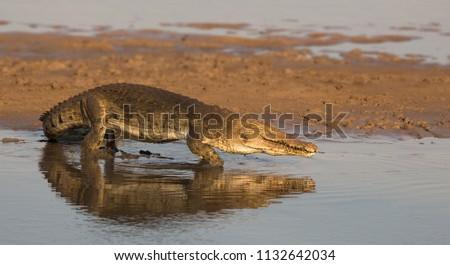 Crocodile in the Luangwa river, Zambia