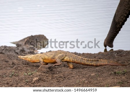 crocodile in the pool in kruger park south africa close up stock photo