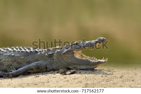 Crocodile in the river, evening yellow sun, National park Yalla, Sri Lanka. Wildlife scene with crocodile in Asia stock photo