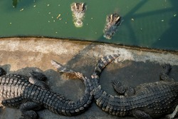 crocodile in the Zoo. alligator in farm show. crocodiles and alligators rests on the shore and in the water.