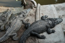 crocodile in the Zoo. Many alligator in farm show. crocodiles and alligators rests on the shore near the lake.