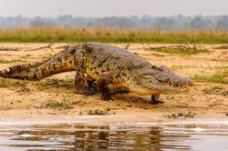 Crocodile in Uganda, Africa
