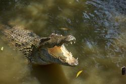 Crocodile in Vietnam