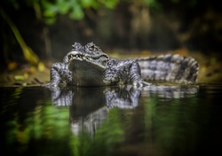 crocodile in water reflex and nature background