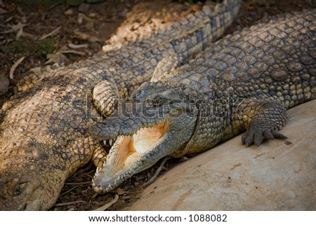 crocodile 001. in zoo