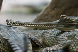 crocodile,Indian gavial