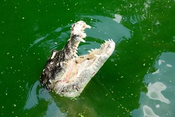 Crocodile is between land and water.