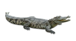 crocodile isolated on white background ,include clipping path