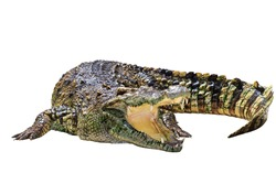 Crocodile isolated on white background - With Clipping Path