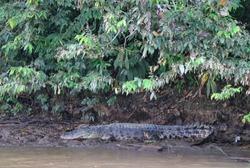 crocodile laying under the trees by the Kinabatangan river Borneo Malaysia