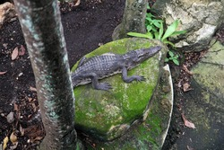 Crocodile lies on a stone resting near a palm tree. View from above.