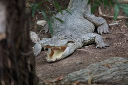 Crocodile mouth open under the tree. And it looks feral.