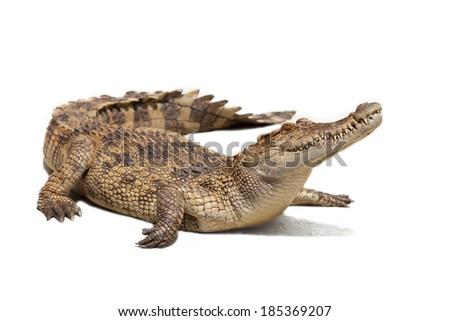 Crocodile on a white background. Foto stock ©