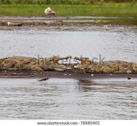 crocodile on Chamo Lake