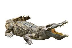 crocodile on white background crocodile on white background  strength predator powerful alligator carnivore dangerous crocodile amphibian aggressive aggression wilderness farm crocodile in thailand