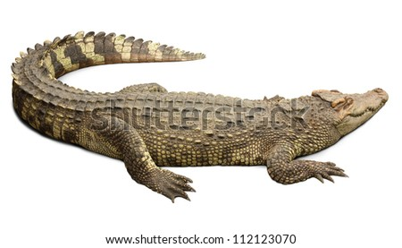 Crocodile on white background with clipping path included.