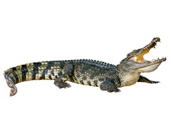 Crocodile open mouth isolated on white with clipping path