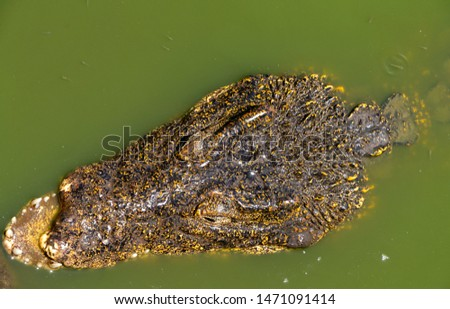 Crocodile or alligator close-up portrait. Wildlide and animal photos. Predators and reptiles #1471091414