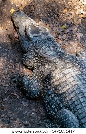 Crocodile or alligator close-up portrait. Wildlide and animal photos. Predators and reptiles #1471091417
