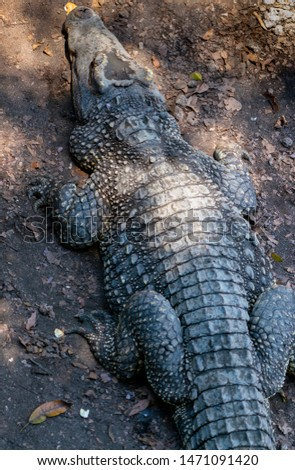 Crocodile or alligator close-up portrait. Wildlide and animal photos. Predators and reptiles #1471091420