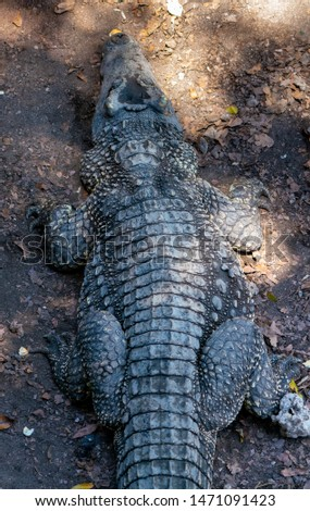 Crocodile or alligator close-up portrait. Wildlide and animal photos. Predators and reptiles #1471091423