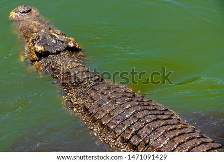 Crocodile or alligator close-up portrait. Wildlide and animal photos. Predators and reptiles #1471091429