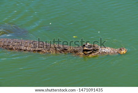 Crocodile or alligator close-up portrait. Wildlide and animal photos. Predators and reptiles #1471091435