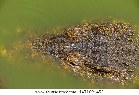 Crocodile or alligator close-up portrait. Wildlide and animal photos. Predators and reptiles #1471091453