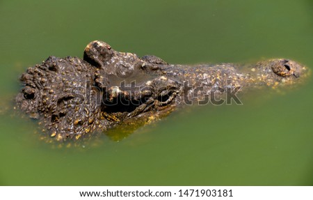 Crocodile or alligator close-up portrait. Wildlide and animal photos. Predators and reptiles #1471903181