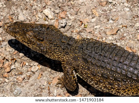 Crocodile or alligator close-up portrait. Wildlide and animal photos. Predators and reptiles #1471903184