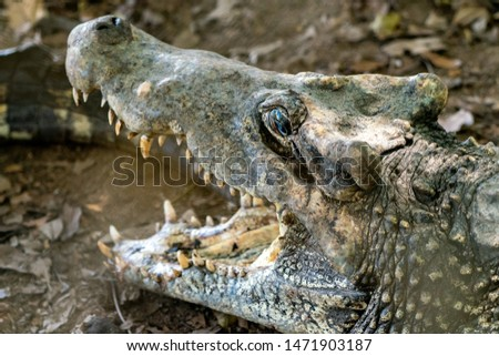 Crocodile or alligator close-up portrait. Wildlide and animal photos. Predators and reptiles #1471903187