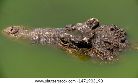Crocodile or alligator close-up portrait. Wildlide and animal photos. Predators and reptiles #1471903190