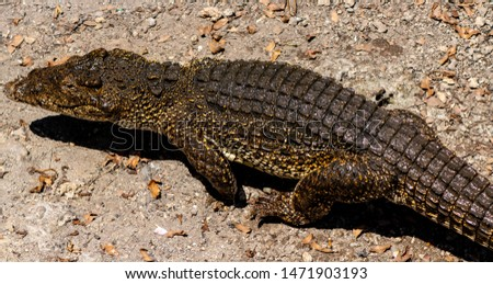 Crocodile or alligator close-up portrait. Wildlide and animal photos. Predators and reptiles #1471903193