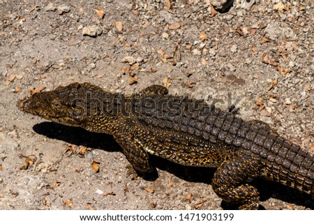 Crocodile or alligator close-up portrait. Wildlide and animal photos. Predators and reptiles #1471903199