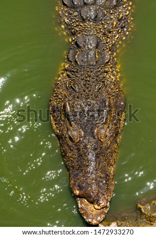 Crocodile or alligator close-up portrait. Wildlide and animal photos. Predators and reptiles #1472933270