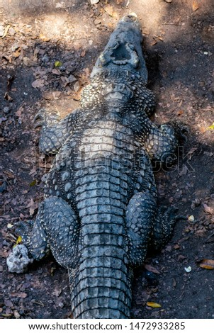 Crocodile or alligator close-up portrait. Wildlide and animal photos. Predators and reptiles #1472933285