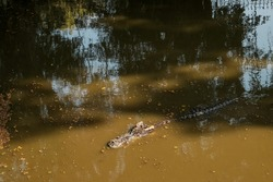 crocodile or alligator swims on a muddy water, head is visible. dirty river or lake.